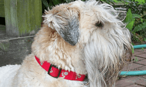 low-shedding-dog-breeds