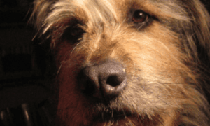 Choosing a Crossbreed Dog