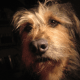 Choosing a Crossbreed Dog