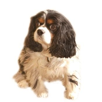 king canute toy spaniel