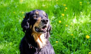 Canine arthritis treatment