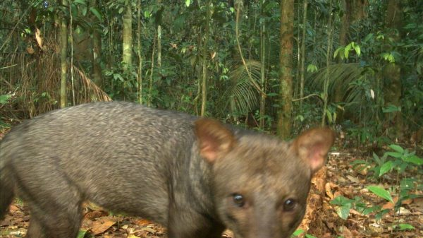 What Do You Know About the Amazon Forest's 'Ghost Dogs'?