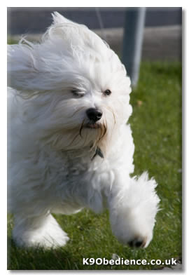 Havanese Dog Breed Profile Size Weight Temperament