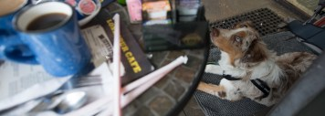Mugsy at his down stay in front of the Lone Spur cafe in Prescott. Talk about good table manners!