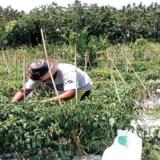 petani-cabai-dewa-dharma-saat-memetik-buah-tanaman-cabai-di-sawahnya-kemarin