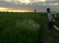 Pertanian Alami di Pinrang