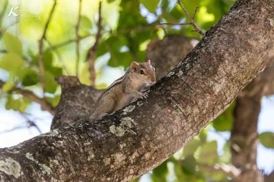 Streifenhörnchen -Nilaveli Beach