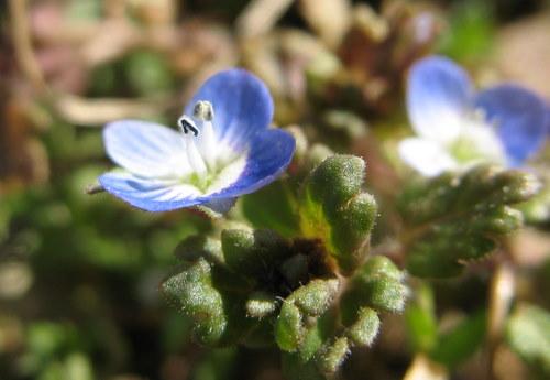 Blue Lawn weed