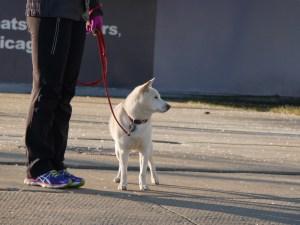 Shiba Inu in Chicago