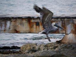 Pelican (Dinosaur)