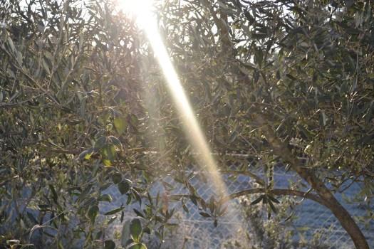 Photo d'un rayon desoleil traversant mon olivier gelé - projet 365 3eme semaine