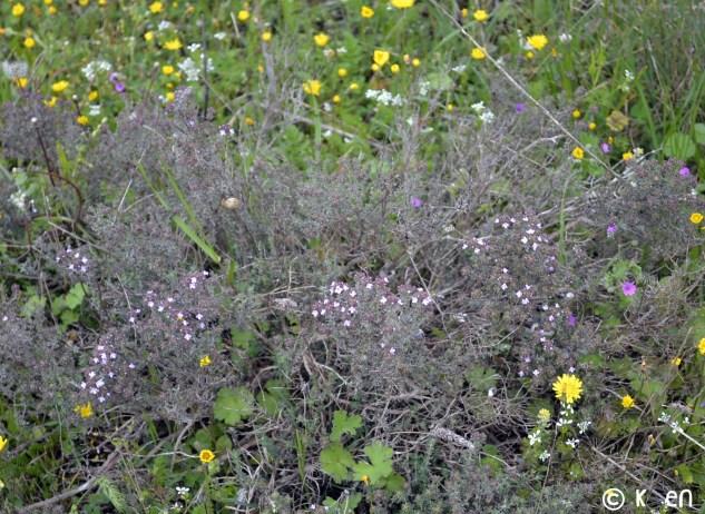 Photo du Thym sauvage en fleur dans la garrigue de la montagne noire