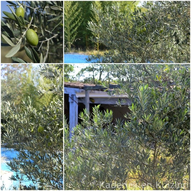 arbre-olivier-olive-cabanon