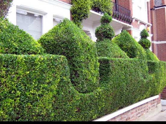 Best way to cut a privet Hedge , Geometric-hedge-Precision,