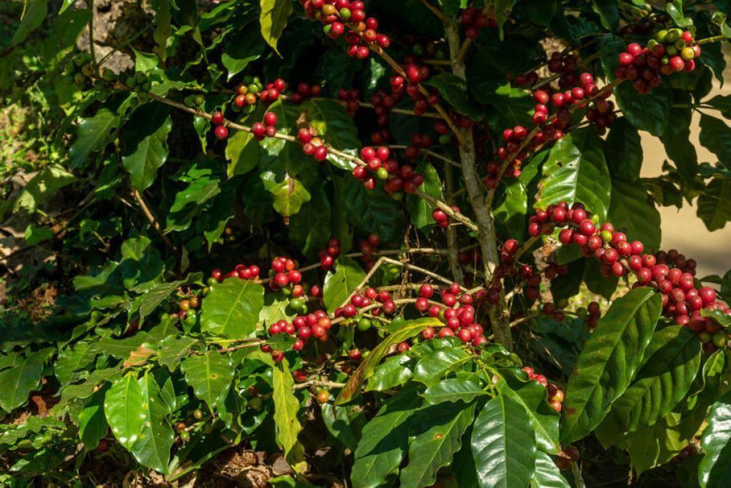 kaffeepflanze zweige und blätter