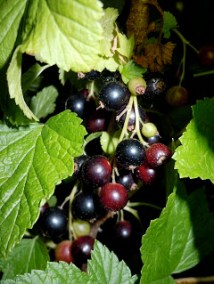 Blackcurrant buds. Source: The Perfume Shrine.