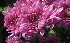Chrysanthemum. Source: wpapers.ru