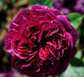 Crimson Rose by Karen Betts. Source: redbubble.com
