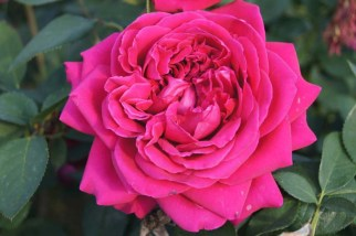 Otto Rose, named for Otto de Jager. Source: ludwigsroses.co.za