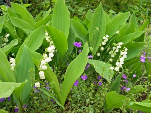 Muguet with wild violets. Photo: Brigitte Quelin. Source: periblog.fr