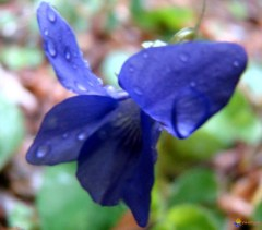 Wild wood violets. Photo: visoflora.com