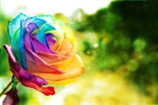 "Rainbow Rose wallpaper by ""eliseenchanted,"" via visuallogs.com"