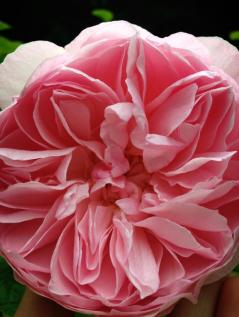 One of the roses in Liz Moores' garden. Source: Photo: Liz Moores & Papillon Perfumery.