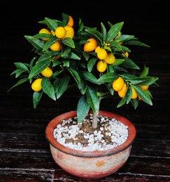 Kumquat tree via flowerpictures.net