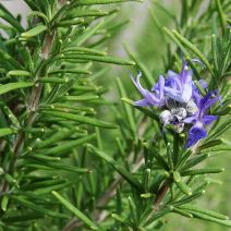 Rosemary. Source: commons.wikimedia.org