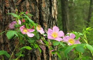 Wild roses in the forest. Photo: Charis Psallo via the Charis Psallo blog spot. (Direct website link embedded within.)