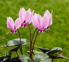 Cyclamens via fr.wikipedia.org