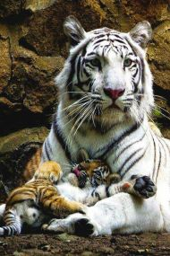 baby tiger and mother_