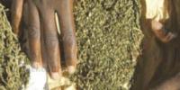 Urgent ! 10Kg de Yamba saisis, deux individus arrêtés à Diourbel.jpg