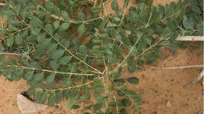 Cassia italica