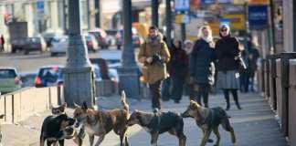 Une meute de chiens errants dévore un homme à Moscou