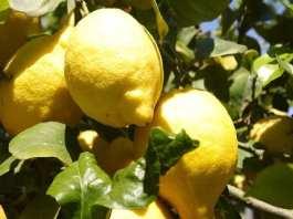 citron+ Tout est bon dans le citron