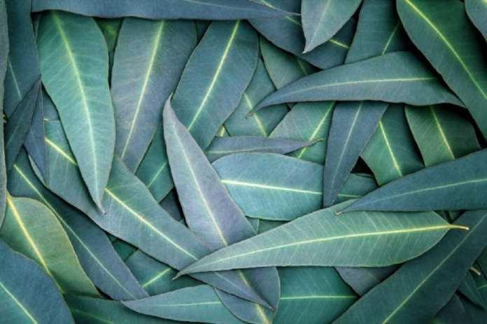 Photo : Feuilles d'eucalyptus