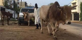 Vaches dans Malgré les décisions et arrêtés municipaux, le problème demeure.