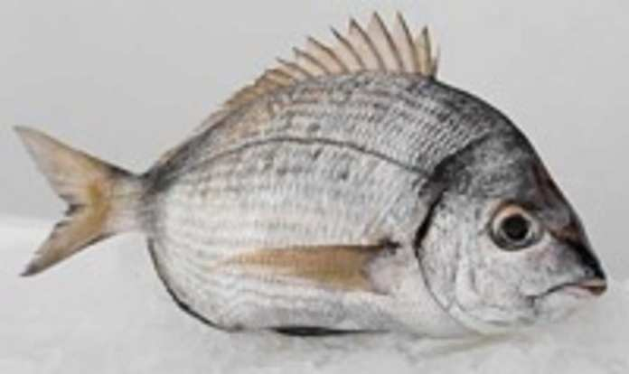 diplodus-vulgaris