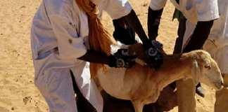kaolack-vers-une-campagne-pour-l-immunisation-du-cheptel