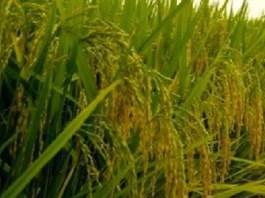riziculture-37-milliards-de-francs-de-tokyo-pour-booster-la-productivite-dans-la-vallee
