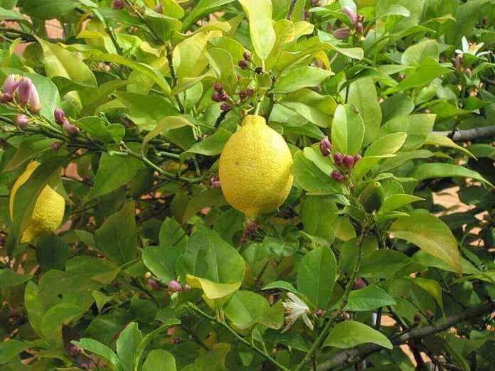 Bourgeons, fleurs et fruits - kafunel.com - de citron sur la même plante