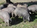 イベリア種とはイベリコ豚の素豚!
