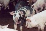 白金豚(はっきんとん・プラチナポーク)とは