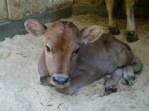 未経産牛は未出産の牛のこと。今はほとんど未経産牛?