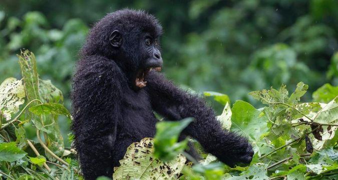 Le bébé gorille Moja, mort le 3 juillet 2020