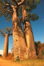 マダガスカルのバオバオの巨木の下で