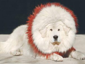 White Tibetan Mastiff Pictures - Looking Like Lion