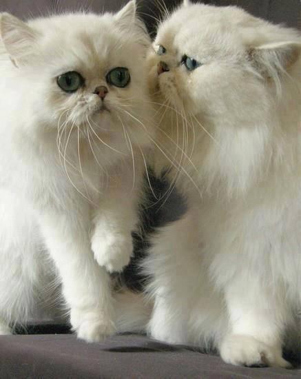 Source: F*YEAH Persian Cats!