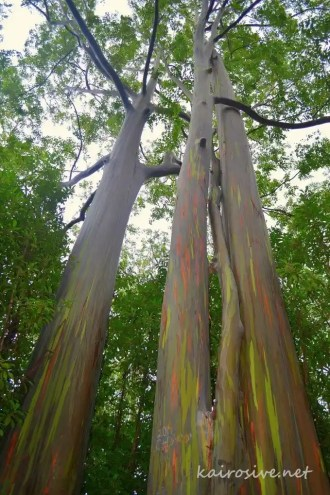 Painted Eucalyptus Trees - Mile Marker 6 - Road to Hana, Maui